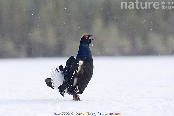 Black Cock / Grouse {Tetrao tetrix} displaying lekking behaviour, in snow. Finland  ,  BEHAVIOUR,BIRDS,EUROPE,FINLAND,GALLIFORMES,GAME BIRDS,GROUSE,MALES,PROFILE,SNOW,TERRITORIAL,VERTEBRATES,VOCALISATION,WINTER,Scandinavia  ,  David Tipling