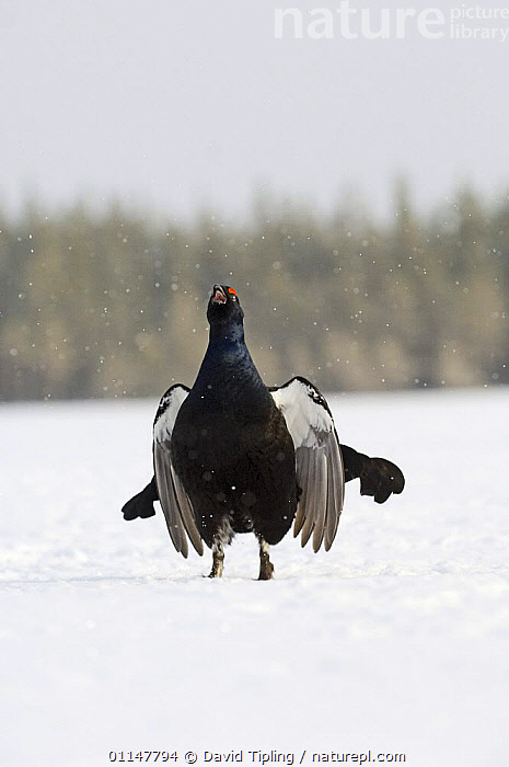 Black Cock / Grouse {Tetrao tetrix} calling, displaying lekking behaviour in snow. Finland  ,  BIRDS,DISPLAY,EUROPE,GALLIFORMES,GAME BIRDS,GROUSE,MALES,MATING BEHAVIOUR,SNOW,TERRITORIAL,VERTEBRATES,VERTICAL,VOCALISATION,Reproduction,Communication  ,  David Tipling