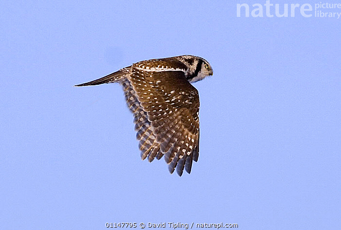 Hawk Owl {Surnia ulula} in flight, Finland., BIRDS,BIRDS OF PREY,EUROPE,FINLAND,FLYING,OWLS,PROFILE,SKY,VERTEBRATES,WINGS,Scandinavia,Raptor, David Tipling