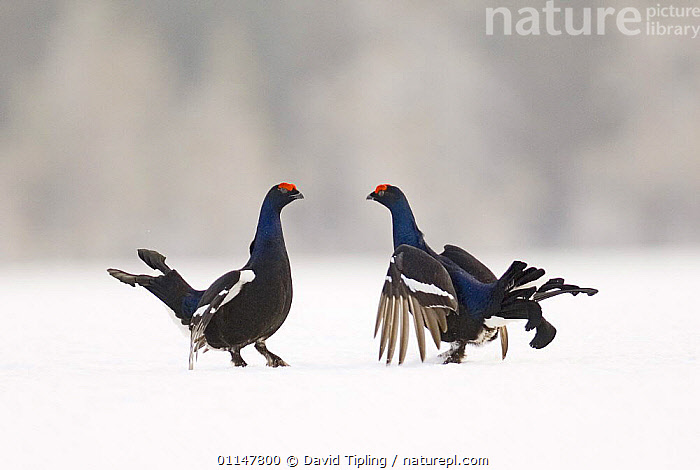 Black Cock / Grouse {Tetrao tetrix} fighting on lek in snow, Finland., BEHAVIOUR,BIRDS,COMPETITION,EUROPE,FIGHTING,FINLAND,GALLIFORMES,GAME BIRDS,GROUSE,INTERACTION,MALES,MATING BEHAVIOUR,SNOW,TWO,VERTEBRATES,WINTER,Scandinavia,Aggression,Reproduction,Concepts, David Tipling