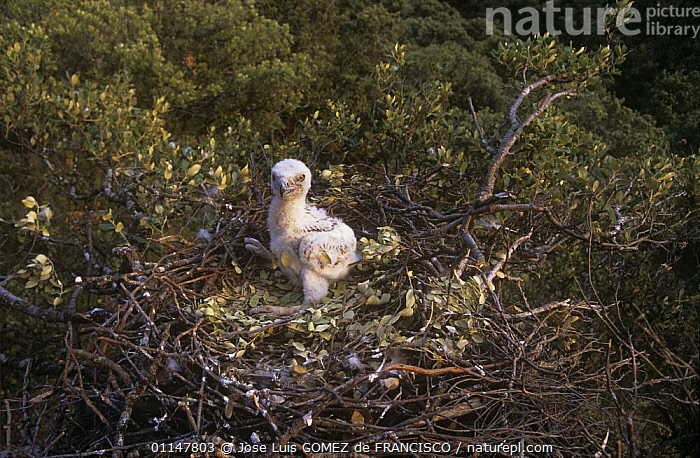 Short toed eagle (Circaetus gallicus) chick in nest, Spain  ,  BABIES,BIRDS,BIRDS OF PREY,CHICKS,EAGLES,EUROPE,NESTS,SPAIN,VERTEBRATES,YOUNG  ,  Jose Luis GOMEZ de FRANCISCO