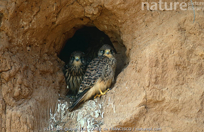 Two Kestrel (Falco tinnunculus) chicks in nest nole, Spain, BABIES,BIRDS,BIRDS OF PREY,CHICKS,CLIFFS,EUROPE,FALCONS,JUVENILE,NESTS,TWO,VERTEBRATES,YOUNG,Geology, Jose Luis GOMEZ de FRANCISCO
