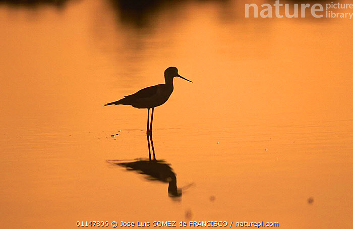Silhouette of Black winged stilt (Himantopus himantopus) standing in water at sunset, Spain, BIRDS,DUSK,EUROPE,ORANGE,SILHOUETTES,SPAIN,STILTS,SUNSET,VERTEBRATES,WADERS,WATER,WETLANDS, Jose Luis GOMEZ de FRANCISCO