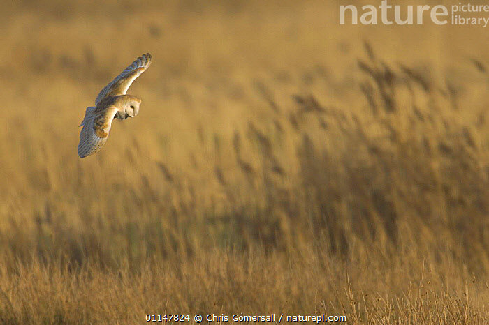 Barn owl (Tyto alba) adult hunting over reedbed, Hickling Broad, Norfolk, UK  ,  BIRDS,BIRDS OF PREY,EUROPE,FLYING,OWLS,REEDBEDS,UK,VERTEBRATES,United Kingdom,British,Raptor  ,  Chris Gomersall