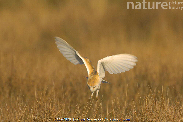 Barn owl (Tyto alba) adult hunting, Hickling Broad, Norfolk, UK, BIRDS,BIRDS OF PREY,EUROPE,FLYING,OWLS,UK,VERTEBRATES,United Kingdom,British,Raptor, Chris Gomersall