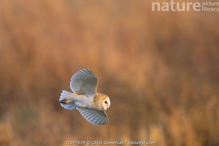 Barn owl (Tyto alba) adult hunting at dusk, Norfolk, UK  ,  BIRDS,BIRDS OF PREY,EUROPE,FLYING,OWLS,UK,VERTEBRATES,United Kingdom,British,Raptor  ,  Chris Gomersall