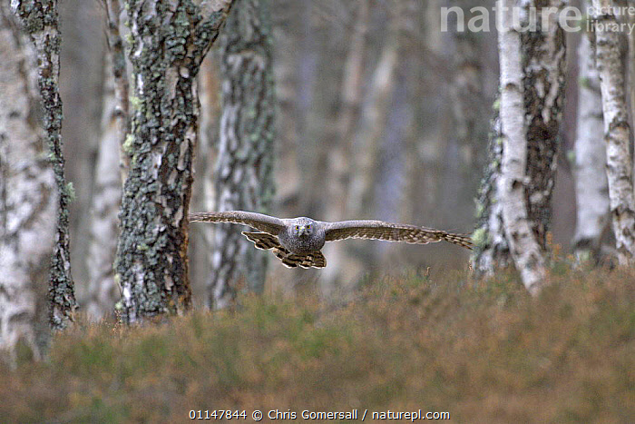 Goshawk (Accipiter gentilis) adult in flight, hunting in Birch woodland, Scotland, UK, captive, ACTION,BIRDS,BIRDS OF PREY,EUROPE,FLYING,FORAGING,HAWKS,MOVEMENT,UK,VERTEBRATES,United Kingdom,British, Chris Gomersall