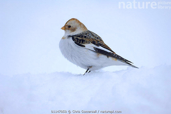 Snow bunting (Plectrophenax nivalis) winter female in snow, Cairngorms, Scotland, UK, BIRDS,BUNTINGS,EUROPE,FEMALES,SNOW,UK,VERTEBRATES,WINTER,United Kingdom,British,WEATHER, Chris Gomersall