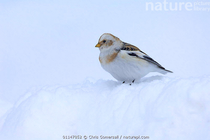 Snow bunting (Plectrophenax nivalis) winter male in snow, Cairngorms, Scotland, UK, BIRDS,BUNTINGS,EUROPE,MALES,SNOW,UK,VERTEBRATES,WINTER,United Kingdom,British,WEATHER, Chris Gomersall