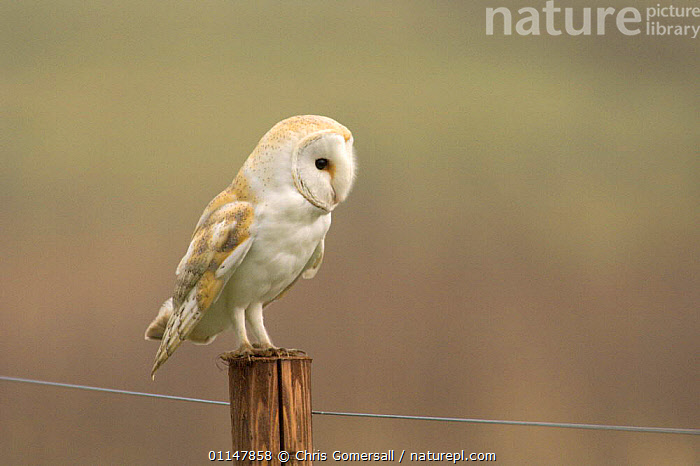 Barn owl (Tyto alba) adult perched on fence post, Norfolk, UK, BIRDS,BIRDS OF PREY,EUROPE,OWLS,PERCHING,RESTING,UK,VERTEBRATES,United Kingdom,British,Raptor, Chris Gomersall