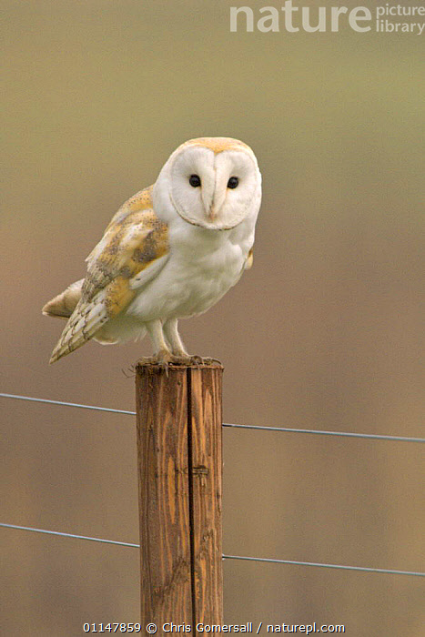 Barn owl (Tyto alba) adult perched on fence post, Norfolk, UK, BIRDS,BIRDS OF PREY,EUROPE,OWLS,PERCHING,RESTING,UK,VERTEBRATES,VERTICAL,United Kingdom,British,Raptor, Chris Gomersall