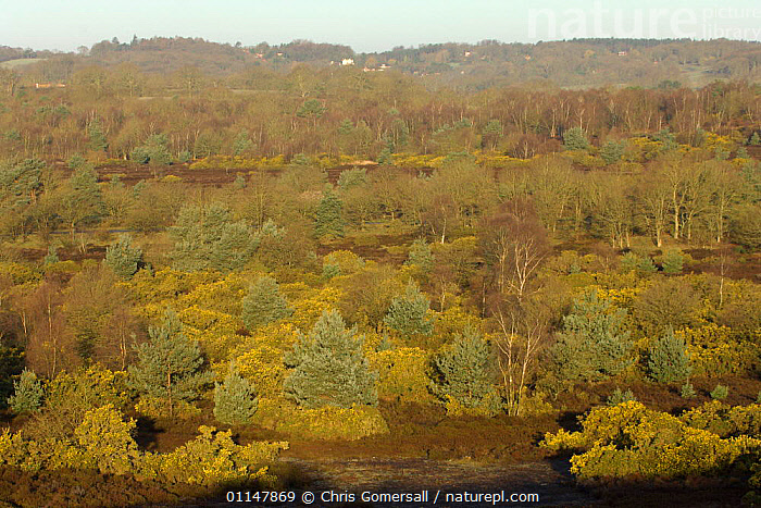 Lowland acid heath habitat, showing gorse, birch and Scots pine, Frensham Common, Surrey, UK, EUROPE,HABITAT,LANDSCAPES,SPRING,UK,United Kingdom,British,ENGLAND, Chris Gomersall