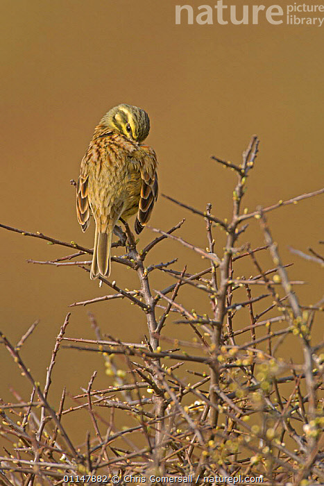 Cirl bunting (Emberiza cirlus) spring male preening in blackthorn bush, South Devon, UK, BEHAVIOUR,BIRDS,BUNTINGS,EUROPE,GROOMING,MALES,UK,VERTEBRATES,VERTICAL,United Kingdom,British, Chris Gomersall