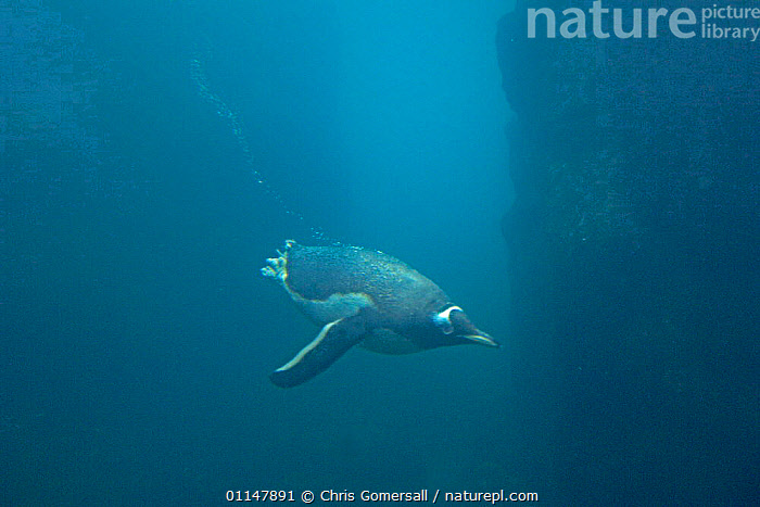 Gentoo penguin (Pygoscelis papua) diving underwater, captive bird in marine aquarium  ,  BIRDS,DIVING,MARINE,PENGUINS,SEABIRDS,SWIMMING,UNDERWATER,VERTEBRATES, Seabirds  ,  Chris Gomersall