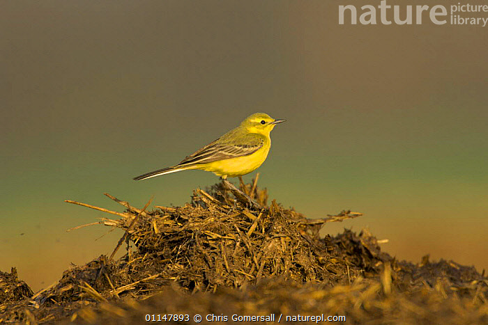 Yellow wagtail (Motacilla flava flavissima) spring male on farm midden heap, Hertfordshire, UK  ,  BIRDS,EUROPE,FARMLAND,MALES,UK,VERTEBRATES,WAGTAILS,United Kingdom,British  ,  Chris Gomersall