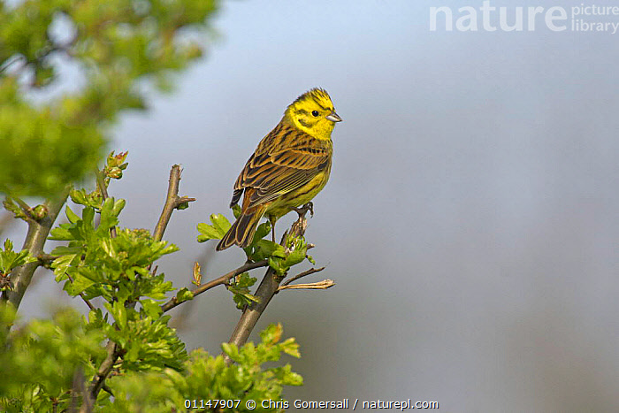 Yellowhammer (Emberiza citrinella) adult male in flailed hawthorn hedge, Norfolk, UK, BIRDS,BUNTINGS,EUROPE,MALES,UK,VERTEBRATES,United Kingdom,British, Chris Gomersall