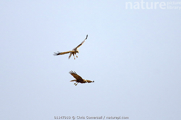 Marsh harrier (Circus aeruginosus) male and female adult pair sky dancing, Norfolk, UK, ACTION,BIRDS,BIRDS OF PREY,EUROPE,FLYING,HARRIERS,MALE FEMALE PAIR,SOCIAL BEHAVIOUR,UK,VERTEBRATES,United Kingdom,British, Chris Gomersall