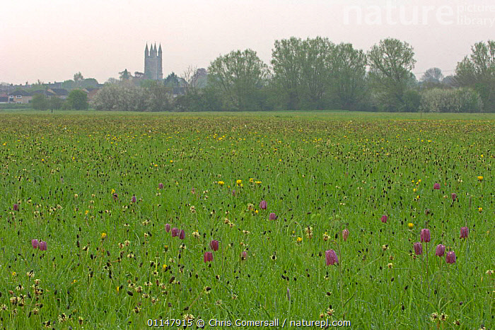 Snake's-head fritillaries (Fritillaria meleagris) in flower, North Meadow National Nature Reserve, Wiltshire, UK  ,  BUILDINGS,EUROPE,GROUPS,LANDSCAPES,LILIACEAE,MEADOWLAND,MONOCOTYLEDONS,PLANTS,RARE,SPRING,UK,WILDFLOWERS,United Kingdom,Grassland,British  ,  Chris Gomersall