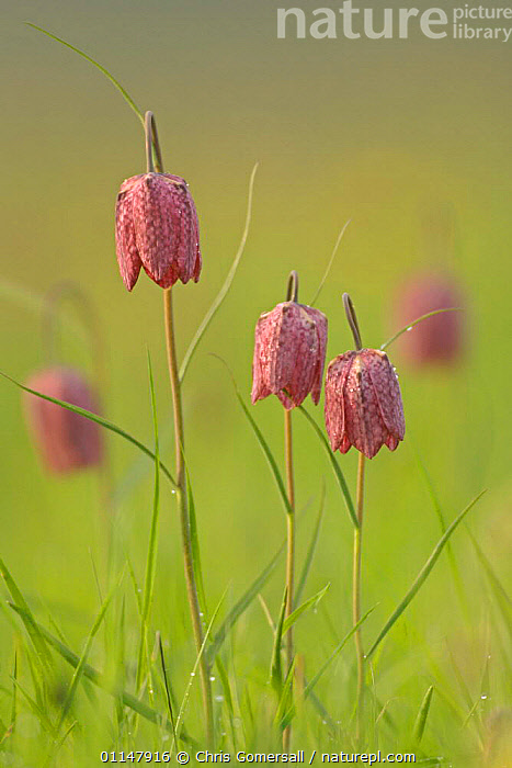Snake's-head fritillaries (Fritillaria meleagris) in flower, North Meadow National Nature Reserve, Wiltshire, UK  ,  EUROPE,LILIACEAE,MONOCOTYLEDONS,PLANTS,PORTRAITS,PURPLE,RARE,UK,VERTICAL,WILDFLOWERS,United Kingdom,British  ,  Chris Gomersall