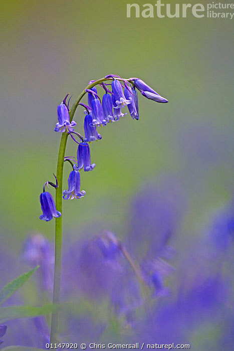 Bluebells (Hyacinthoides non-scripta) flowering in coppiced woodland, Cambridgeshire, UK  ,  BLUE, EUROPE, Hyacinthoides, LILIACEAE, MONOCOTYLEDONS, PLANTS, PORTRAITS, SPRING, UK, VERTICAL, wildlfowers,United Kingdom  ,  Chris Gomersall