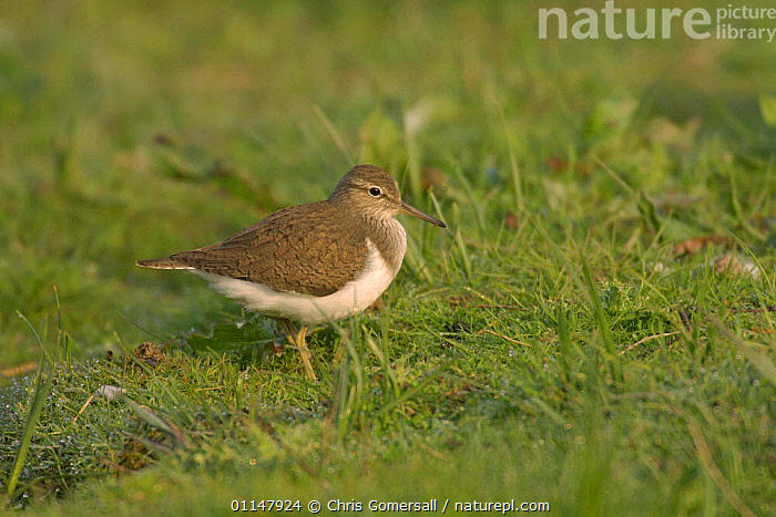 Common sandpiper (Actitis hypoleucos) summer adult, Norfolk, UK, BIRDS,EUROPE,SANDPIPERS,UK,VERTEBRATES,WADERS,United Kingdom,British, Chris Gomersall