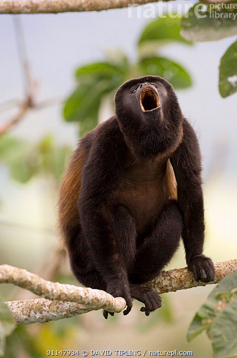 Black mantled howler monkey {Alouatta palliata} male howling on branch, Soberiana NP, Panama., BEHAVIOUR,CENTRAL AMERICA,HOWLER MONKEYS,MALES,MAMMALS,MONKEYS,MOUTHS,PRIMATES,VERTEBRATES,VERTICAL,VOCALISATION, DAVID TIPLING