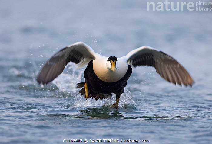 Eider {Somateria mollissima} male taking off, Seahouses, Northumberland, UK.  ,  BEHAVIOUR,BIRDS,DUCKS,FLYING,MOVEMENT,VERTEBRATES,WATER,WATERFOWL  ,  DAVID TIPLING