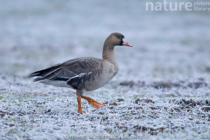 Immature White fronted goose {Anser albifrons} profile walking on frozen grass, Bulgaria., BIRDS,EUROPE,GEESE,PROFILE,VERTEBRATES,WALKING,WATERFOWL,WINTER,Wildfowl, waterfowl, DAVID TIPLING