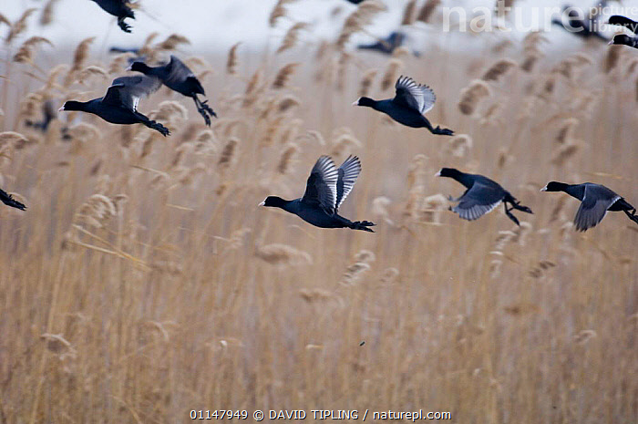 Group of Coot {Fulica atra} taking-off from reedbed.  ,  BIRDS,COOTS,EUROPE,FLYING,GROUPS,VERTEBRATES,WATERFOWL,WETLANDS  ,  DAVID TIPLING