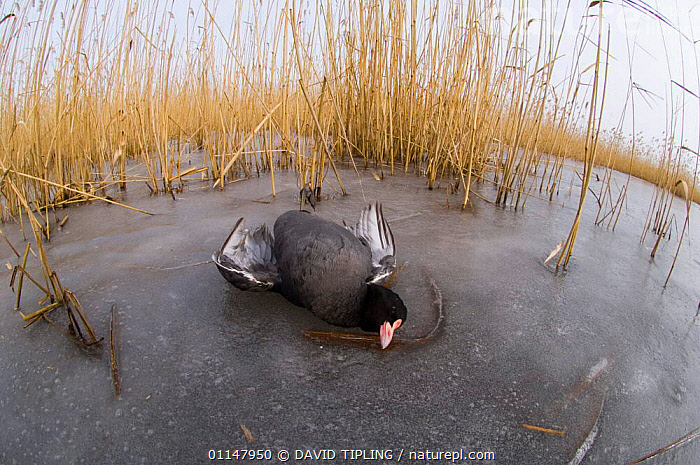 Coot {Fulica atra} dead on ice in reedbed, victim of cold weather, January, UK.  ,  BIRDS,COOTS,DEATH,EUROPE,UK,VERTEBRATES,WATERFOWL,WINTER,United Kingdom,British  ,  DAVID TIPLING