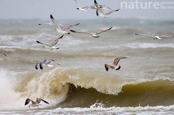 Flock of Yellow legged gulls (Larus cachinnans) flying over rough sea, Black Sea, Bulgaria, BIRDS, EUROPE, GROUPS, GULLS, LANDSCAPES, SEABIRDS, VERTEBRATES, DAVID TIPLING