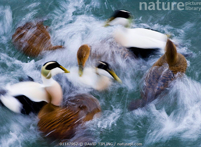 Eider duck abstract {Somateria mollissima} ducks and drakes, Northumberland., ABSTRACTS,ACTION,ARTY SHOTS,BEHAVIOUR,BIRDS,DUCKS,MALE FEMALE PAIR,MOVEMENT,UK,VERTEBRATES,WATER,WATERFOWL,Europe,United Kingdom,British, DAVID TIPLING