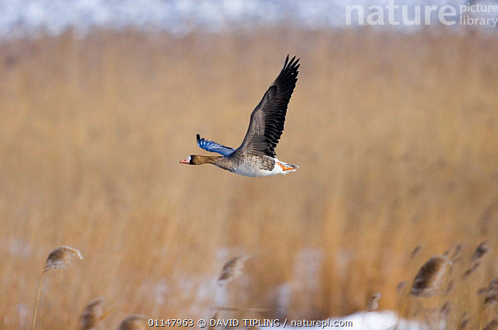 Immature White-fronted Goose {Anser albifrons} in flight over reedbed.  ,  BIRDS,FLYING,GEESE,VERTEBRATES,WATERFOWL,Wildfowl, waterfowl  ,  DAVID TIPLING