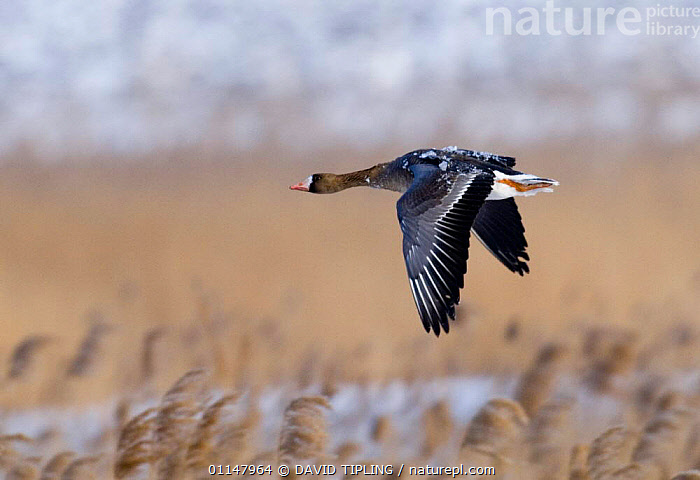 Immature White-fronted Goose {Anser albifrons} in flight, over reedbed, covered in ice. Bulgaria, BIRDS,FLYING,GEESE,PROFILE,VERTEBRATES,WATERFOWL,Wildfowl, waterfowl, DAVID TIPLING