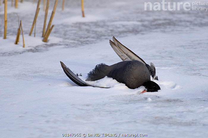 Coot {Fulica atra} dead in reedbed, victim of cold weather.  ,  BIRDS,COOTS,DEATH,SNOW,VERTEBRATES,WATERFOWL  ,  DAVID TIPLING