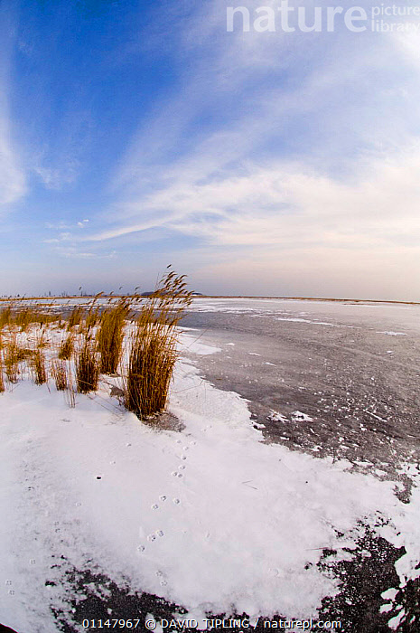 Fox footprints on frozen Durankulak Lake (RAMSAR site) Bulgaria., COLD,EUROPE,FOXES,ICE,LAKES,LANDSCAPES,SNOW,TRACKS,VERTICAL,WETLANDS,WINTER, DAVID TIPLING