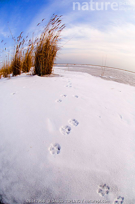 Fox footprints on frozen Durankulak Lake (RAMSAR site) Bulgaria., EUROPE,FOXES,LANDSCAPES,SNOW,TRACKS,VERTICAL, DAVID TIPLING