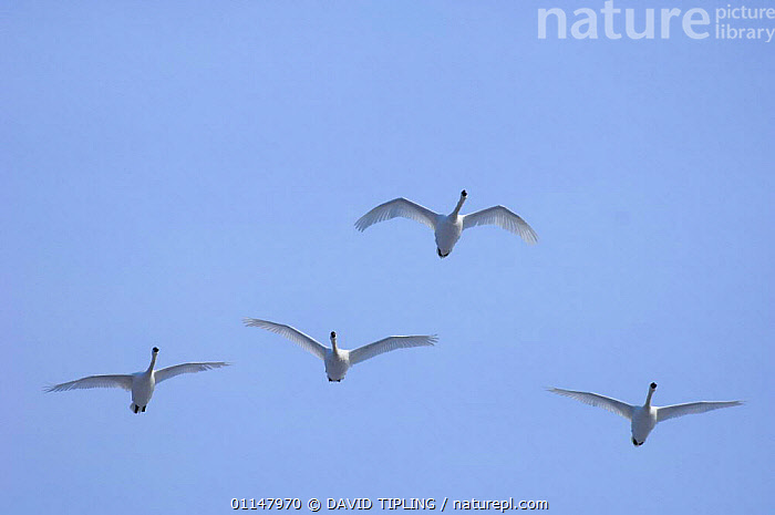 Four Mute swans {Cygnus olor} in flight., BIRDS,FLYING,FOUR,SKY,SWANS,VERTEBRATES,WATERFOWL,Wildfowl, Waterfowl, DAVID TIPLING