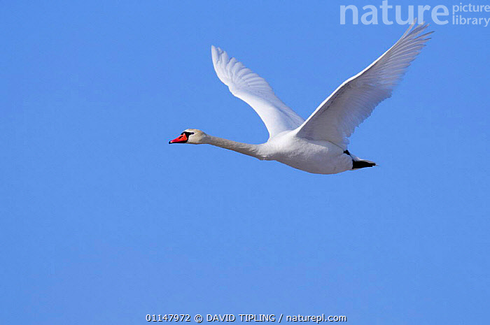 Mute Swan {Cygnus olor} in flight.  ,  BIRDS,BLUE,CUTOUT,FLYING,ONE,SKY,SWANS,VERTEBRATES,WATERFOWL,WINGS,Wildfowl, Waterfowl  ,  DAVID TIPLING