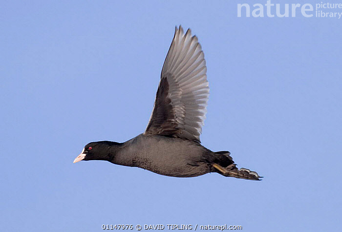 Coot {Fulica atra} in flight, UK., BIRDS,COOTS,FLYING,PROFILE,SKY,VERTEBRATES,WATERFOWL,WINGS, DAVID TIPLING