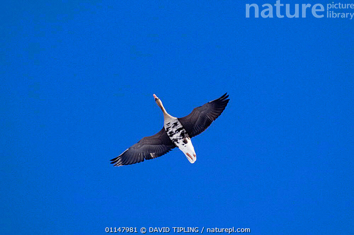 White-fronted Goose {Anser albifrons} in flight, viewed from below.  ,  BIRDS,CUTOUT,FLYING,GEESE,SKY,VERTEBRATES,WATERFOWL,Wildfowl, waterfowl  ,  DAVID TIPLING