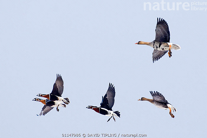 Red breasted Geese {Branta ruficollis} and White-fronted Geese in flight, Bulgaria.  ,  BIRDS,EUROPE,FIVE,FLYING,GEESE,GROUPS,MIXED SPECIES,VERTEBRATES,WATERFOWL,Wildfowl, waterfowl  ,  DAVID TIPLING