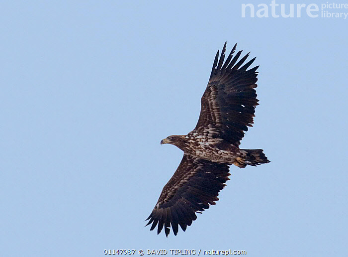 Immature White tailed sea eagle {Haliaeetus albicilla} in flight, Bulgaria., BIRDS,BIRDS OF PREY,EAGLES,EUROPE,FLYING,SKY,VERTEBRATES,WINGS,Raptor, DAVID TIPLING