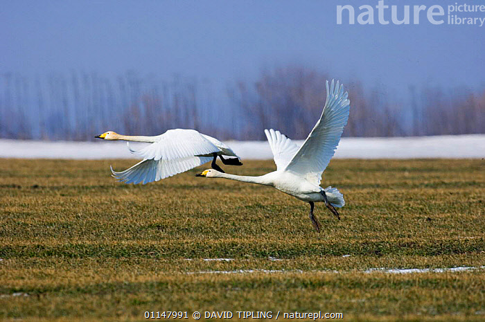 Two Whooper swans {Cygnus cygnus} taking off, Bulgaria.  ,  BIRDS,EUROPE,FLYING,SNOW,SWANS,TWO,VERTEBRATES,WATERFOWL,WINTER,Wildfowl, Waterfowl  ,  DAVID TIPLING