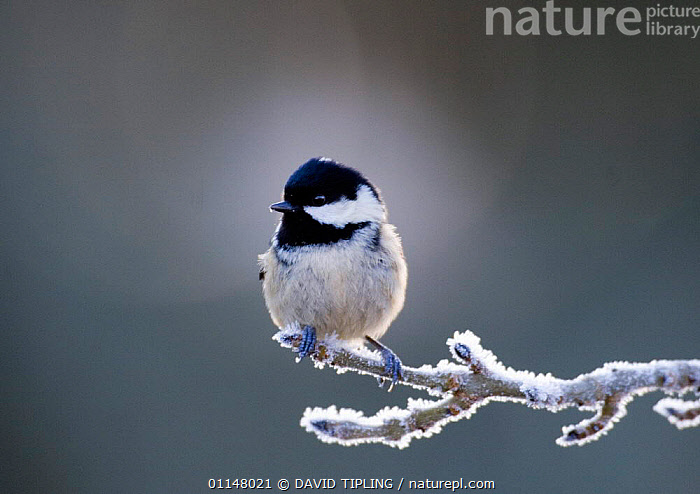 Coal Tit {Periparus ater} perching on frosty branch, Scotland, UK., BIRDS, COLD, EUROPE, PORTRAITS, TITS, UK, VERTEBRATES, WINTER,United Kingdom, DAVID TIPLING