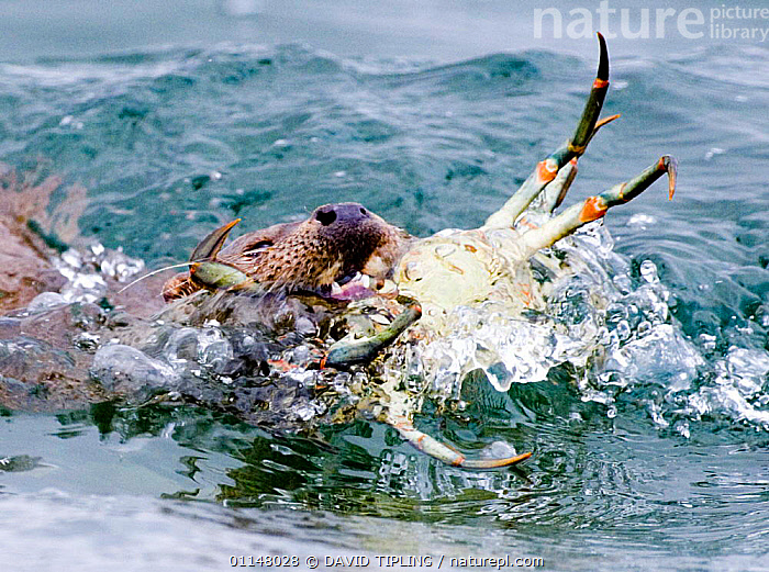 European River otter {Lutra lutra} eating crab at water surface, UK.  ,  BEHAVIOUR,CARNIVORES,EUROPE,FEEDING,MAMMALS,MUSTELIDS,OTTERS,PREDATION,UK,VERTEBRATES,United Kingdom,British  ,  DAVID TIPLING