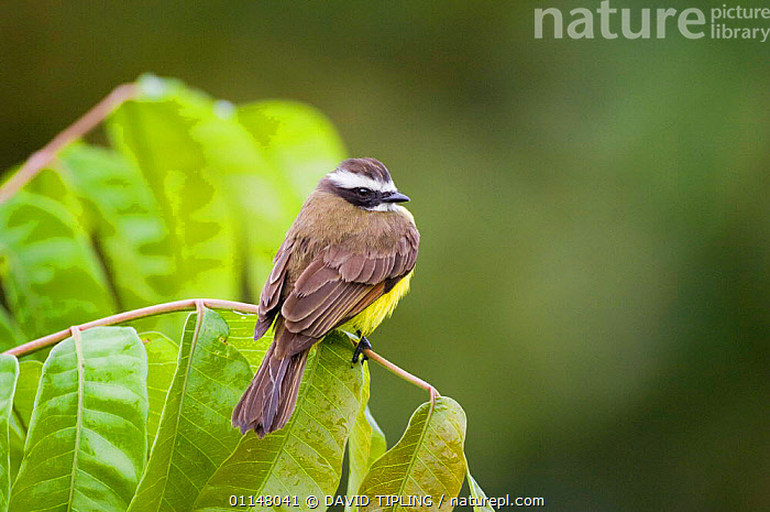 Rusty margined Flycatcher {Myiozetetes cayanensis harterti} perching on branch, Gamboa Road, Panama., BIRDS,CENTRAL AMERICA,FLYCATCHERS,VERTEBRATES, DAVID TIPLING