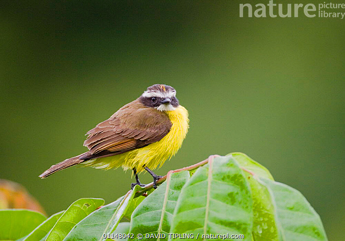 Rusty margined Flycatcher {Myiozetetes cayanensis harterti} perching on branch, Gamboa Road, Panama.  ,  BIRDS,FLYCATCHERS,PROFILE,VERTEBRATES  ,  DAVID TIPLING