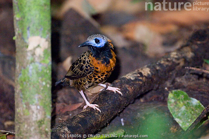 Ocellated Antbird {Phaenostictus mcleannani} at ground level, Pipeline Road, Soberiana NP, Panama.  ,  ANTBIRDS,BIRDS,CENTRAL AMERICA,VERTEBRATES  ,  DAVID TIPLING