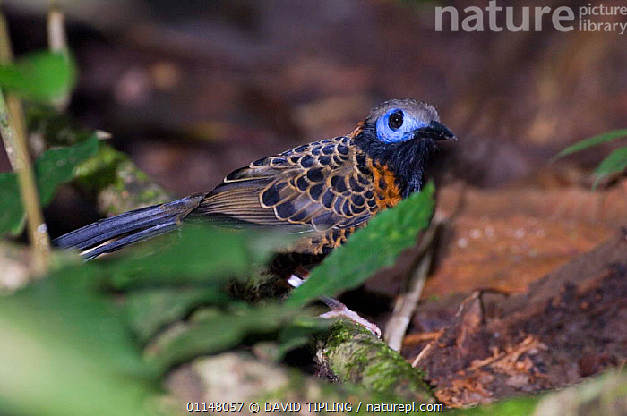 Ocellated Antbird {Phaenostictus mcleannani} at ground level, Pipeline Road, Soberiana NP, Panama., ANTBIRDS,BIRDS,CENTRAL AMERICA,VERTEBRATES, DAVID TIPLING
